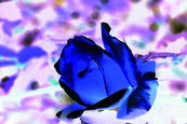 Blue Rose 2 by Teresa Saporiti