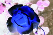 Blue Rose 3 by Teresa Saporiti