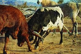 Wired Bulls by Britt Ripley