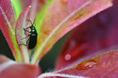 Beetle & Waterdrop by Bruce Bowles