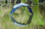 Great Blue Heron Flying by Julia Hunt