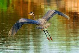 Great Blue Heron in Flight 2 by Julia Hunt