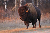 Bison by Mike Grandmaison