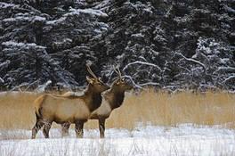 Elk by Mike Grandmaison