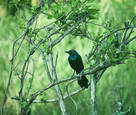 Grackle in Bower by Pat Custer Denison