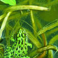 Leopard Frog by Pat Custer Denison