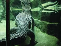 Crocodylus Cataphractus by Steig Ole Lerbakken