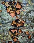 Rock Tripe Lichen by Bob Rogers