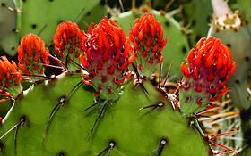 Cactus Bud 1 by Laurence Garvie