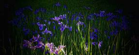 Irises by Lief Anson Wallace