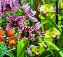 Cymbidium Orchid Group w Splatters Flamenco and Vidar Harlequin by Michael Ferguson