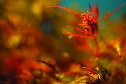 Brilliant Maple Leaf 1 by Nancy Abens