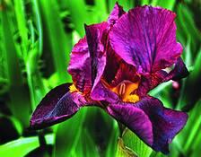 Iris 2 by Randall Conway