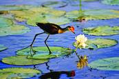 Jacana and Lilly by Christopher Costanza