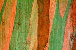 Eucalyptus Bark 1 by Rodney Gene Mahaffey