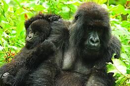 Mountain Gorillas by David G. Smith