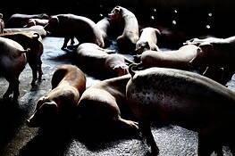 Pig Farm by Chong Kok-Yew