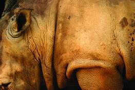 Hippo by Eduardo Bermudez