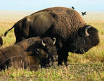 Buffalo Family Portrait by John A. Sargent Jr.