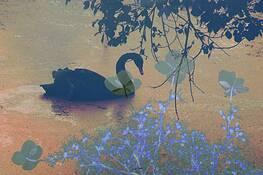 Black Swan by Maaike van Oorschot