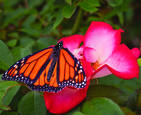 Butterfly and Rose by Tom Jewett