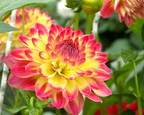 Dahlia by Alan Wood