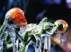 Frozen  Flower 4 by Linda Little