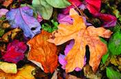 Autumn Leaves by Scott Hoyle