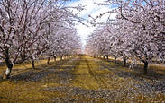 Almond Blossoms by Jim Klein