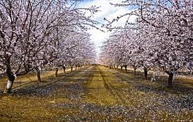 Almond Blossoms by Jim Klein