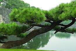 Leaning Pine by Heide Castleman