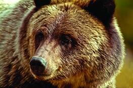 Grizzly by Rodney Gene Mahaffey