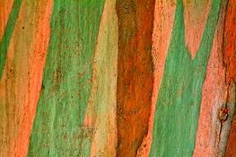Eucalyptus by Rodney Gene Mahaffey