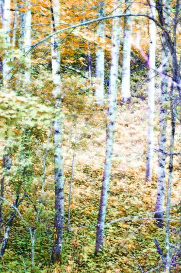 Roan birch