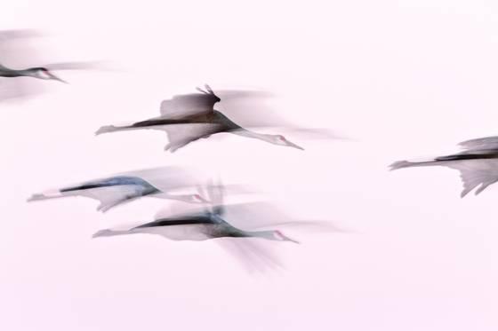 Sandhill crane flight abstract