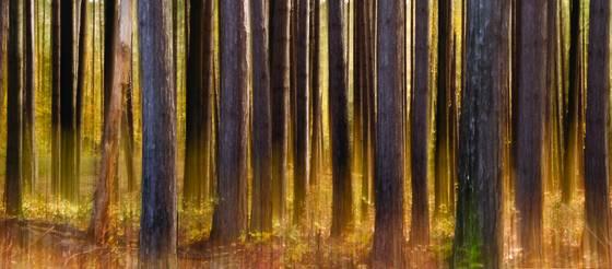 Sentinel pines impression