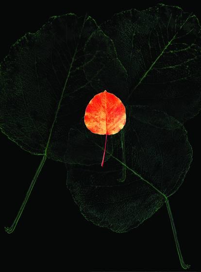 Poplar leaf  4