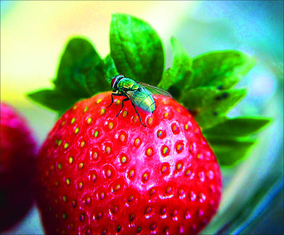 Fly on strawberry