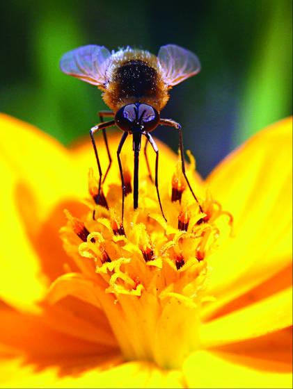 Prancing bee