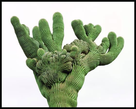 Cristate saguaro