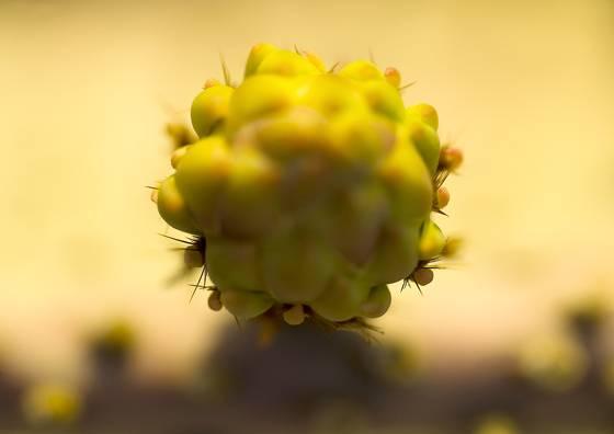 Prickly pear cactus bud