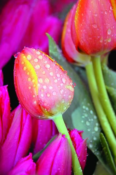 Market tulips  thirsk  england  2007