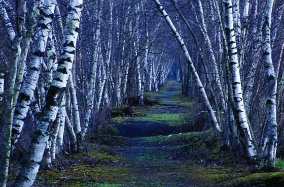 Bashakill birches