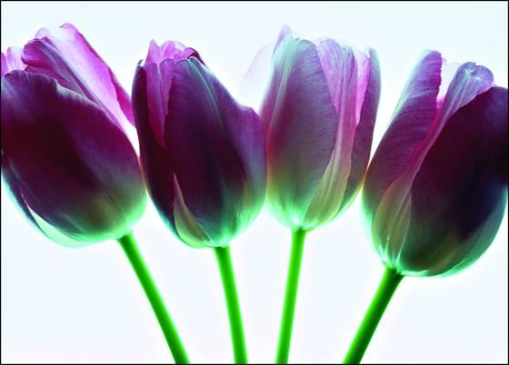 Tulips on glass