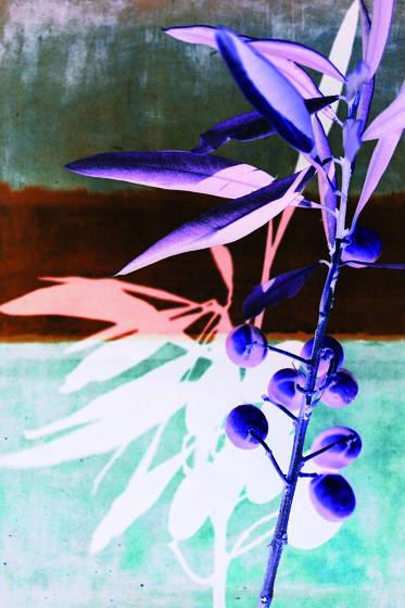 Brunhaf olive tree
