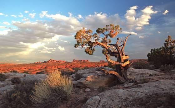 Arches juniper