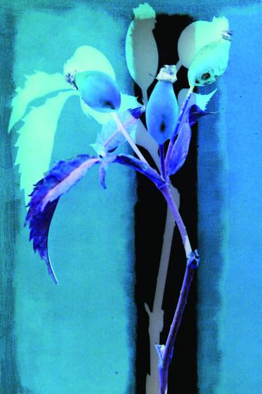 Blue rose button