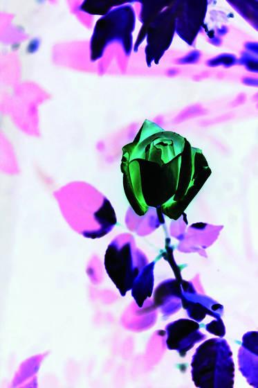 Green rose 1