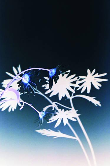 White daisy 1
