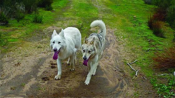 True wolf 2